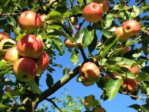 appels op ons landje in driebergen-zeist
