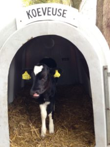de-kinderherberg-gastouderopvang-een-koeveuse-met-kalfje-op-kaasboerderij-de-ossenwaard-in-werkhoven-img_1666